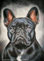 French Bulldog by Drehli