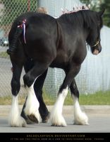 Clydesdale 8 by SalsolaStock
