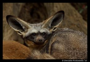 Bat Eared Fox by TVD-Photography