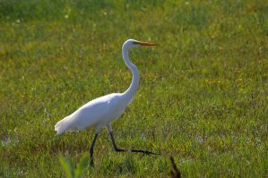 Egret 4 by Silver-she-wolf-14