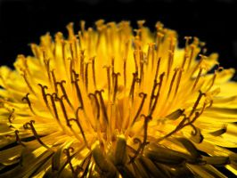 Sow-thistle by Lucas246