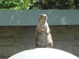 Prairie dog 2 by Silver-she-wolf-14