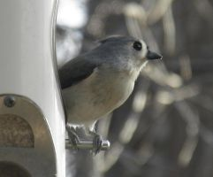 Tufted Titmouse by Destroyah93