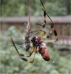 Spider eats lizard 2 by pawnofchuko