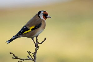 Goldfinch 1 by fremlin
