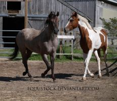 Blue roan and paint trot front on by equustock