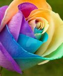 Rainbow Rose by SonjaPhotography