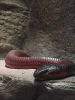 the red spitting cobra by Abducted-by-Emus