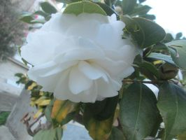 White camellia by FuriarossaAndMimma