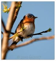 Eastern Bluebird - 2 by bp2007