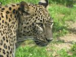 Persian Leopard by animalphotos