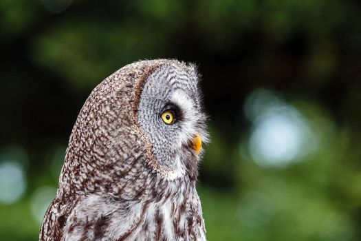 Owl at La Volerie Des Aigles by MichaWha