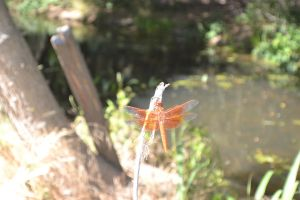 Red Dragonfly by LilyBayer