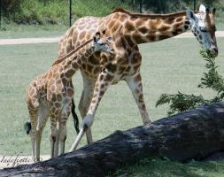 Mother and Calf 02 by Indefinitefotography
