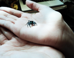 Sister's Bold Jumping Spider by The-Clockwork-Crow