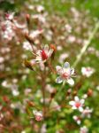 saxifraga by jesterrysources