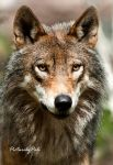 The Regal Wolf by PictureByPali