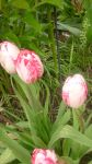 awesome tulips 3 by ingeline-art