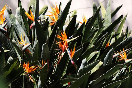 Birds of Paradise 2 by SystematicEntropy