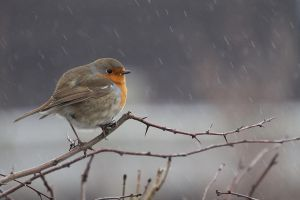 Winter Robin by MvanMelsen