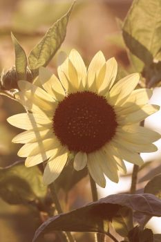 Contre Sunflower by Karl-B
