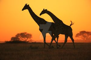 Giraffe - African Wildlife - Golden Sunset Gallop by LivingWild