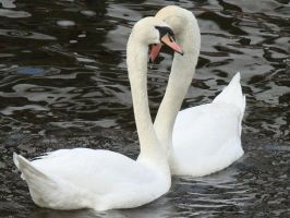 The swans like Heart by Wilvarin13