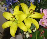 Yellow Lillies II by GreenEyezz-stock