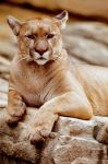 Cougar 2 by Art-Photo