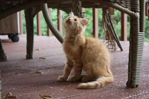 ginger kitten 6 by xxtheSilent