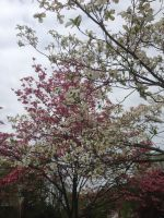 My Dogwoods by Ken-Griffith