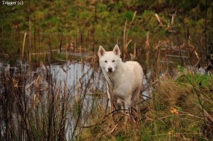 Wolf by the water by Trigger-Photography