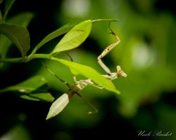 Baby Praying Mantis 2 by UncleBrisket