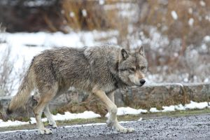 Stock Image: Grey Wolf by Iamidaho
