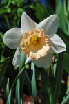 Just a daffodil by LucieG-Stock
