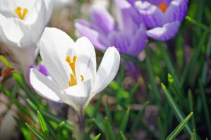White Crocus by TheBirdsFeathers