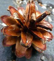 Pine Cone by Ninilovesart