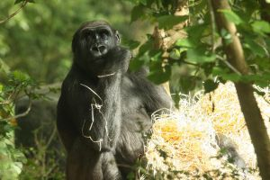 Gorilla at Melbourne Zoo by Tiberius47