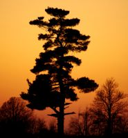 Lone Pine by SharingMyDreams
