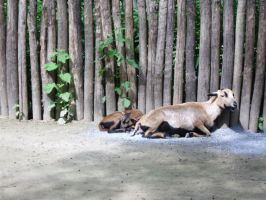 Cameroon Sheep by JollyStock