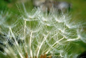 Dandelion 1 by Polin-Sam
