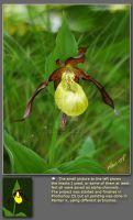 Yellow Ladyslipper Orchid by neanderdigital
