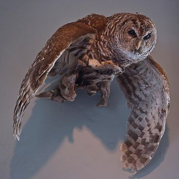 Owl with spread wings stock by nikongriffin