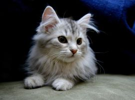 Siberian Kitten no. 5 by Mischi3vo