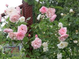 A pink Climber rose 1 by Kattvinge