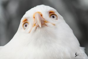 Leucistic Red Tailed Hawk by EdgedFeather