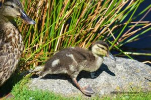 Mama Duck and Baby Duckling by sweetcivic