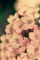 Alyssum by Little-Miss-Splendid
