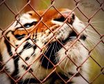America's Tiger Addiction II by NaturePunk