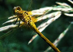 Dragonfly by kop4